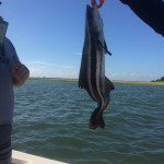 Topsail Beach Fishing Charters Cobia with Genetic Disease
