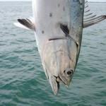 Closeup of a Falsie Tuna