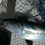 Beautiful False Albacore Tuna