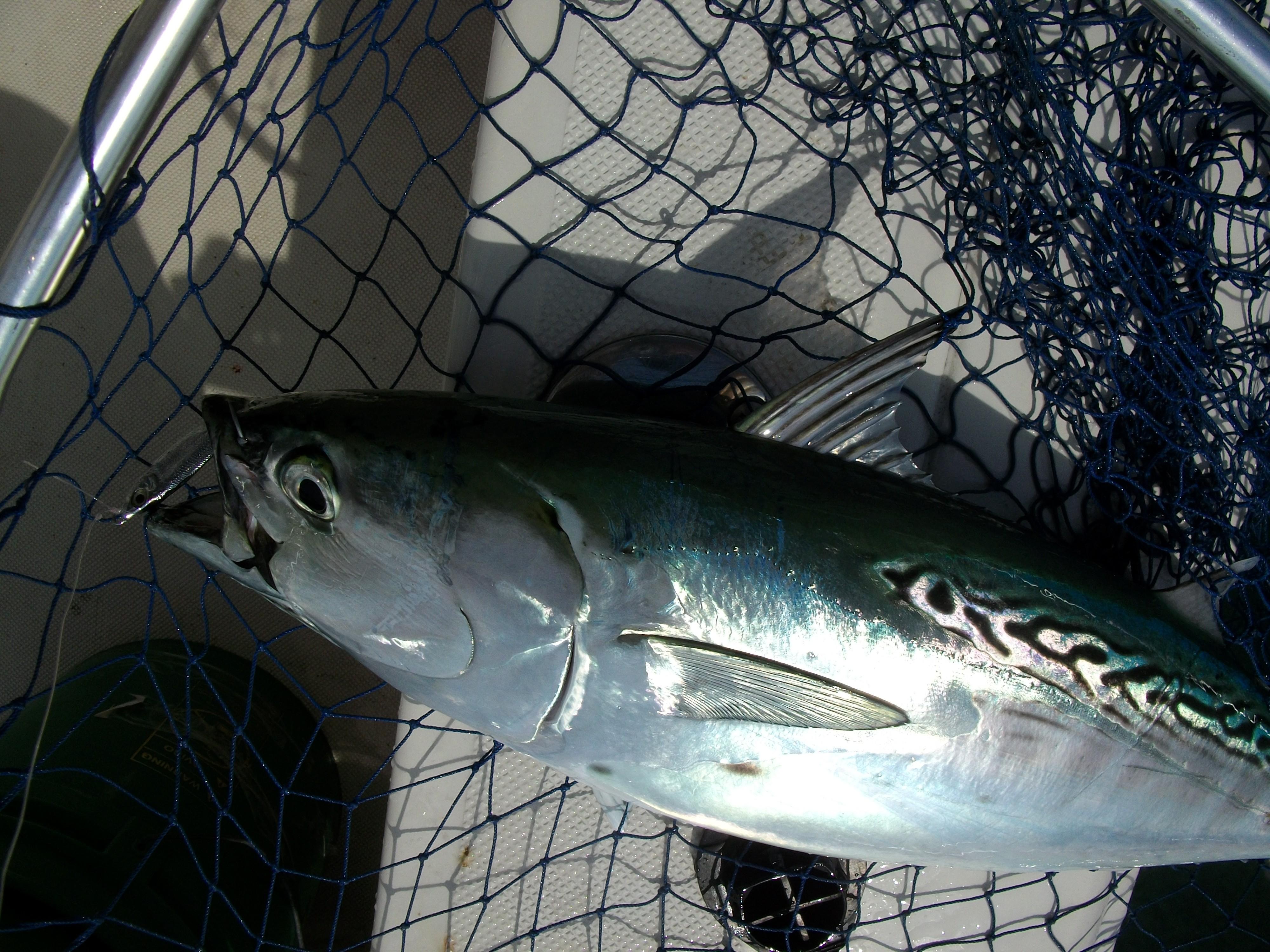 North Carolina False Albacore Tuna - Wilmington Fishing Charters