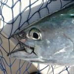 F. Albacore Tuna Closeup