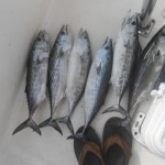 Topsail Beach Bonito Fishing Charters