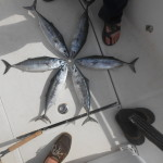 Topwater Tuna Fishing