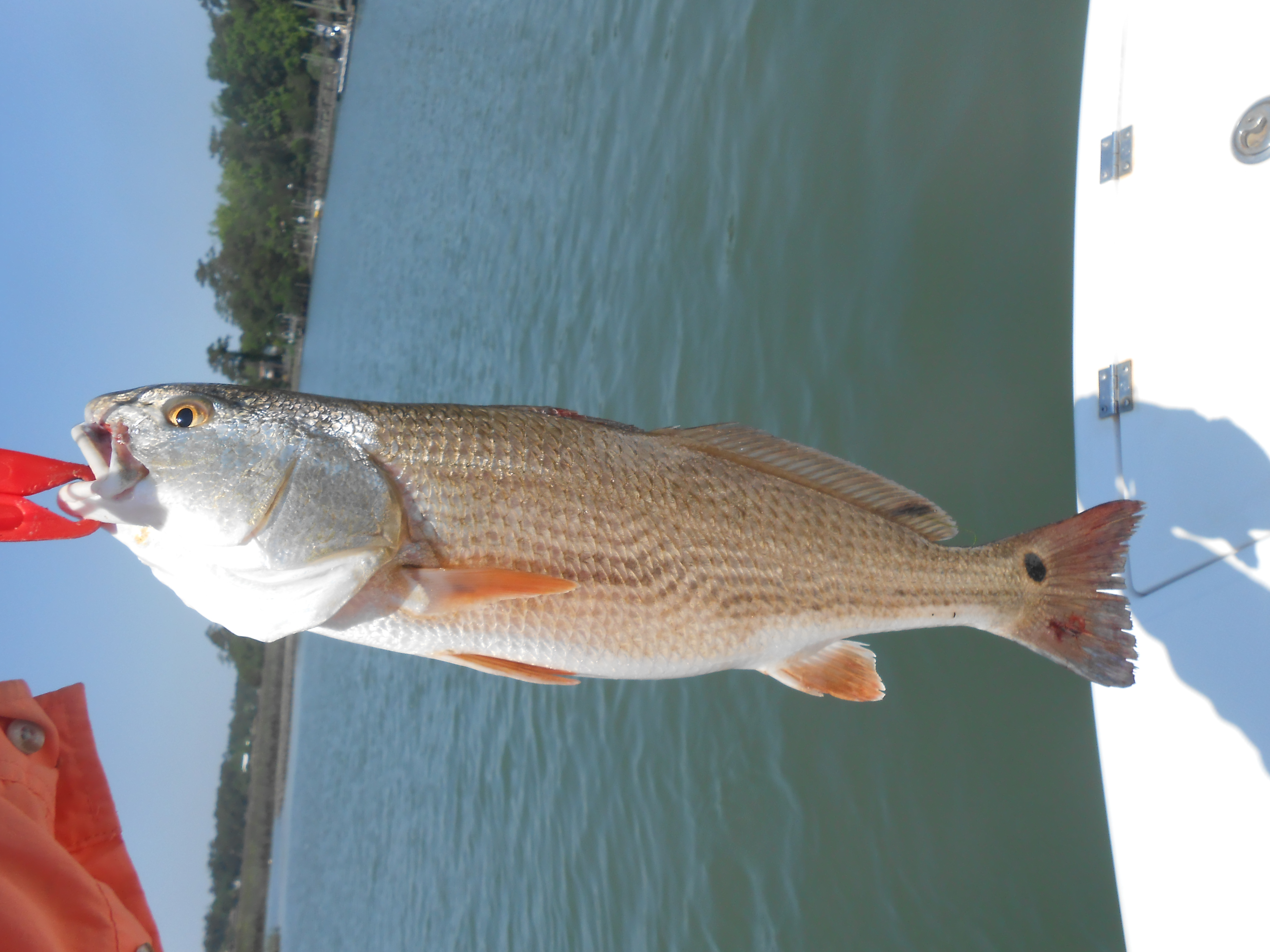 Red drum fishing charters profishnc charters for Red drum fishing